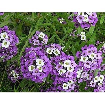 Лобулярия Фиолетовый король 5 г, код: 1491