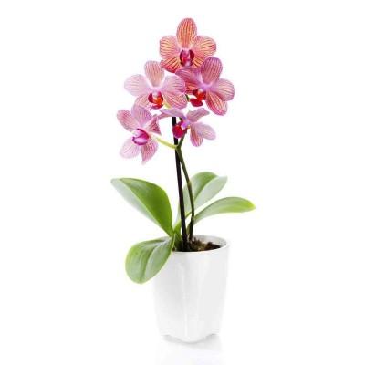 Скоттс Еверрис Удобрение для орхидей, 5 г, код: 1593