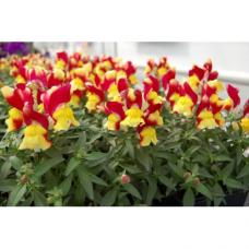Ротики садові Снеппі F1 помаранчево-жовтий 100 шт