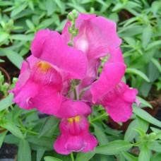 Ротики Снеппі F1 рожевий 100 шт