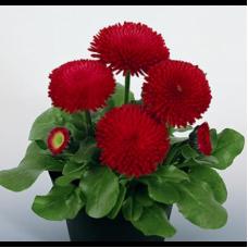 Шанхайська Троянда червона 1000 шт